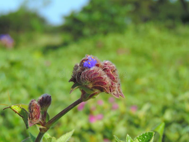 Espèces d'†de Cynotis Tuberosa les «de la fleur ont trouvé dans le plateau de Kaas photo libre de droits
