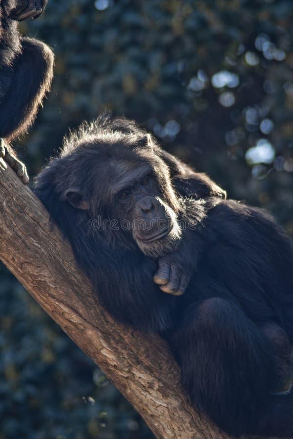 Espèces des animaux sauvages en captivité, chimpanzés photos stock