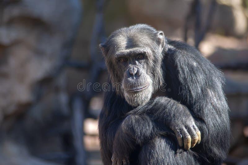 Espèces des animaux sauvages en captivité, singes photos libres de droits