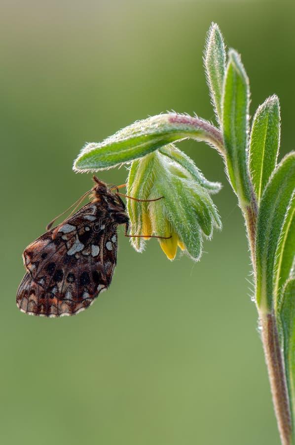 Esp?ces des papillons du genre du Nymphalidae de famille de Nymphalidae pendant le d?but de la matin?e sur une fleur de champ images libres de droits
