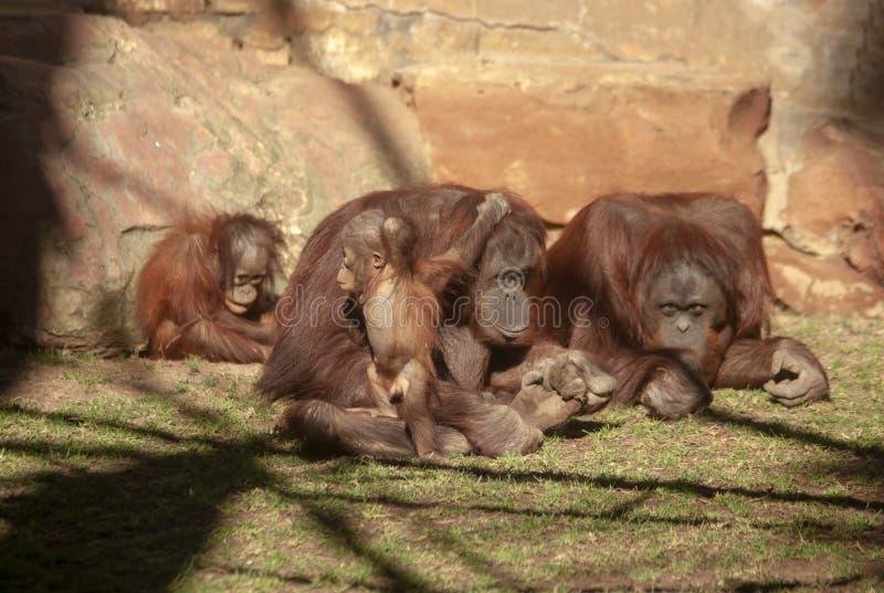 Espèces des singes, orang-outan image stock