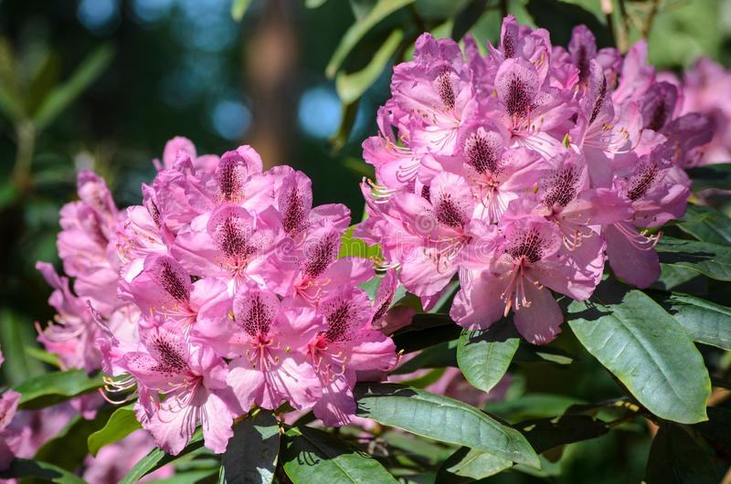 Espécie cor-de-rosa de florescência de Doktor Babarikin do rododendro no jardim botânico de Babites, Letónia imagem de stock royalty free
