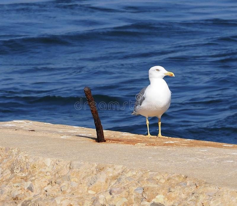 Espécie da gaivota ou do Larus em Ilha Culatra o Algarve Portugal imagem de stock