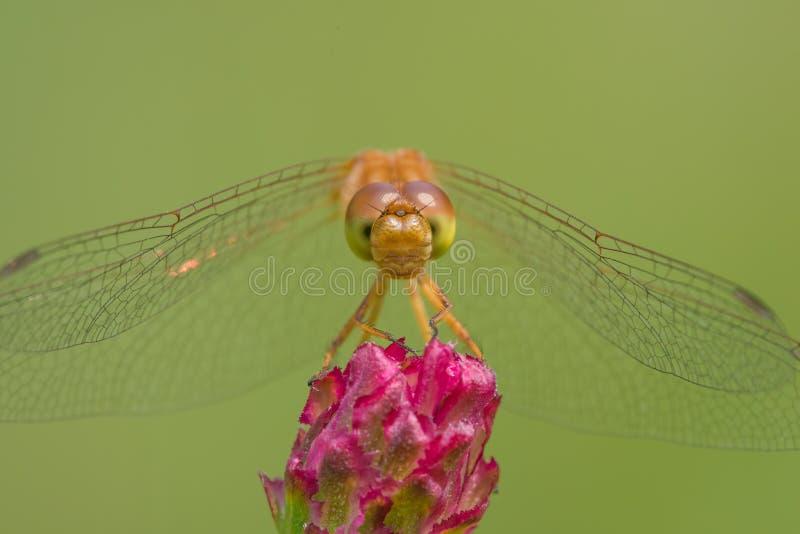 Espécie da libélula do meadowhawk - close up extremo da cara e dos olhos - tomada no centro de madeira da natureza do lago em Min fotos de stock royalty free