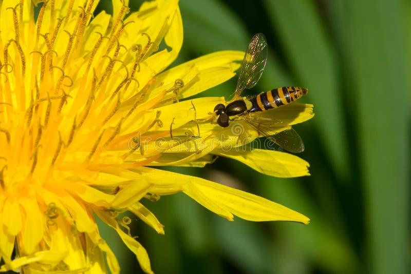 Espécie de Hoverfly - de Syrphid fotos de stock