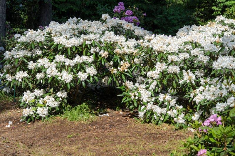 Espécie de queda de florescência da neve do rododendro branco no jardim botânico de Babites, Letónia fotografia de stock royalty free