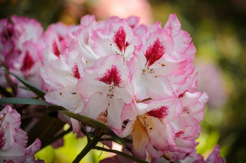 Espécie do Charmant de Hachmann cor-de-rosa de florescência do rododendro no jardim botânico de Babites, Letónia fotos de stock royalty free