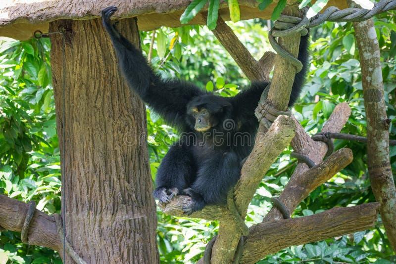 Espécie do macaco de Gibbon que senta-se na árvore imagens de stock royalty free