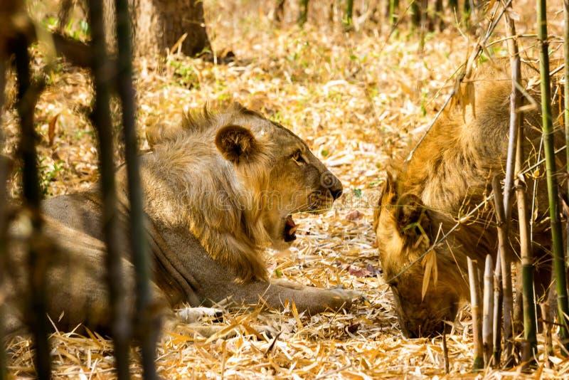 Download A Espécie Em Vias De Extinção De Leão Asiático Imagem de Stock - Imagem de macho, pele: 65578547