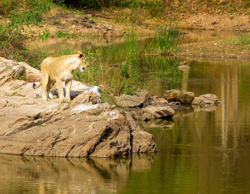 Download A Espécie Em Vias De Extinção De Leão Asiático Foto de Stock - Imagem de pattern, india: 65578628