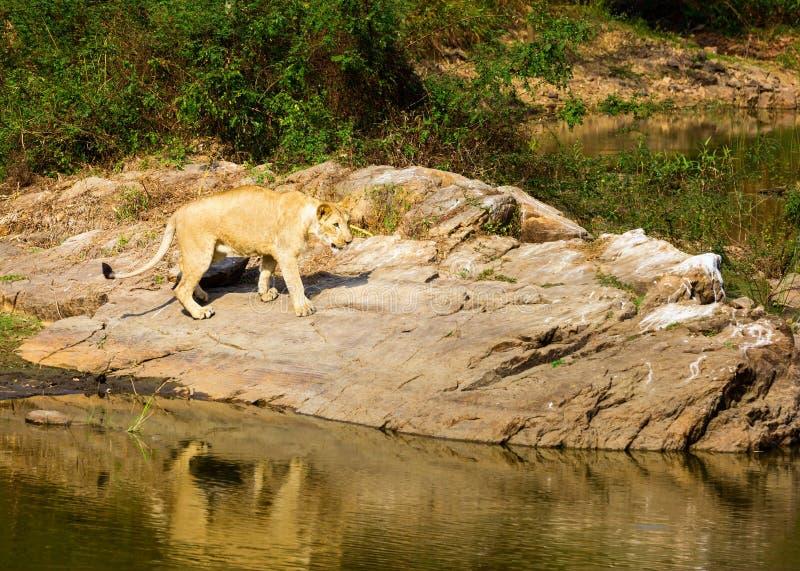 Download A Espécie Em Vias De Extinção De Leão Asiático Imagem de Stock - Imagem de gujarat, intenso: 65578639
