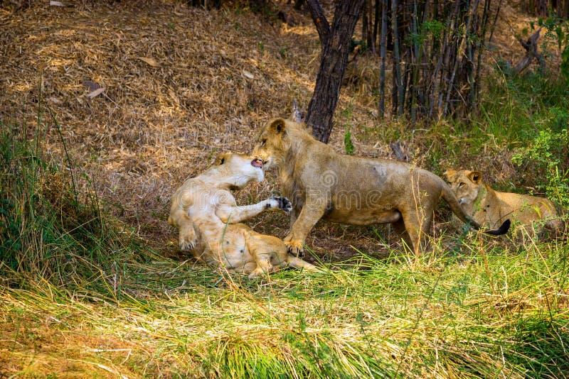 Download A Espécie Em Vias De Extinção De Leão Asiático Imagem de Stock - Imagem de selva, leão: 65578657
