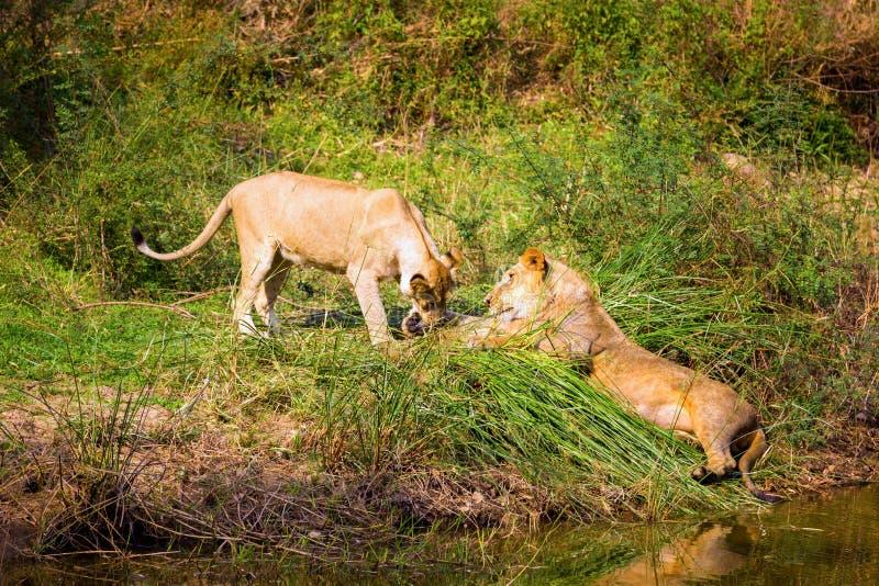 Download A Espécie Em Vias De Extinção De Leão Asiático Foto de Stock - Imagem de keywords, mamífero: 65578700