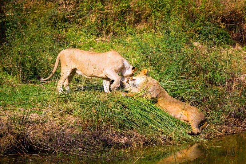 Download A Espécie Em Vias De Extinção De Leão Asiático Foto de Stock - Imagem de parque, pattern: 65578720