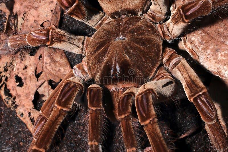 A espécie a mais grande da aranha do mundo fotos de stock royalty free