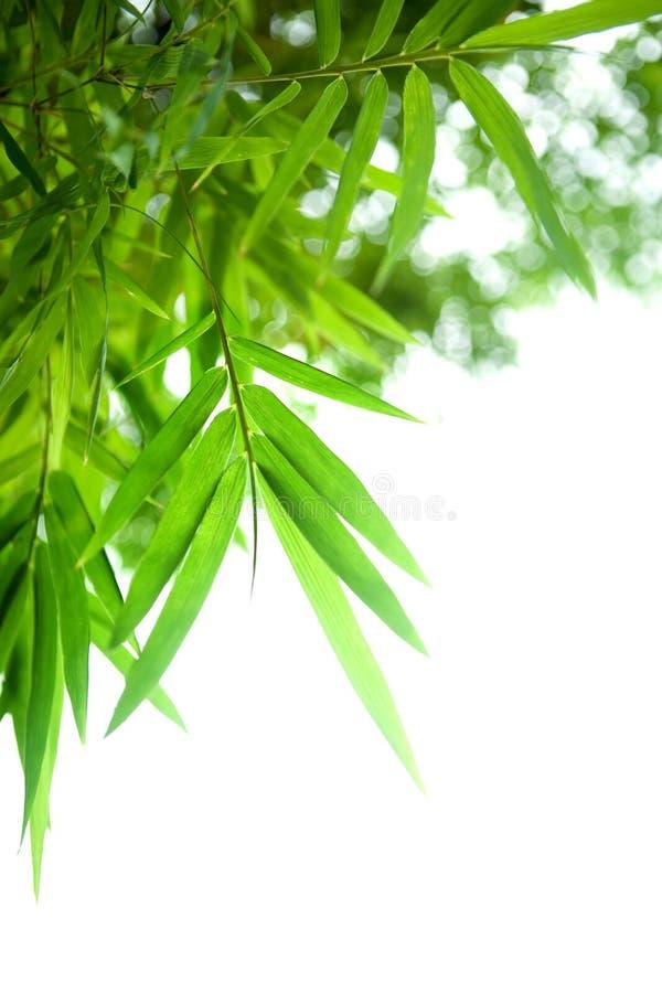 Espécime bonito do bambu japonês imagens de stock royalty free