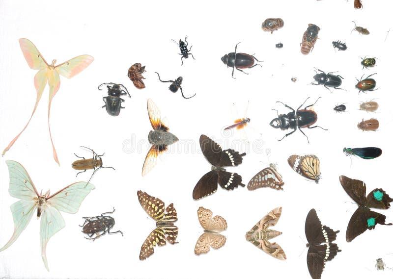 Espécime do inseto ilustração royalty free