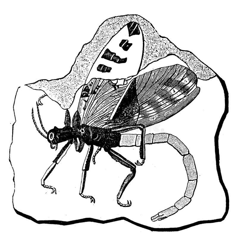 Espécime fóssil de Protophasma damasii, inseto do período carbonífero em França ilustração royalty free