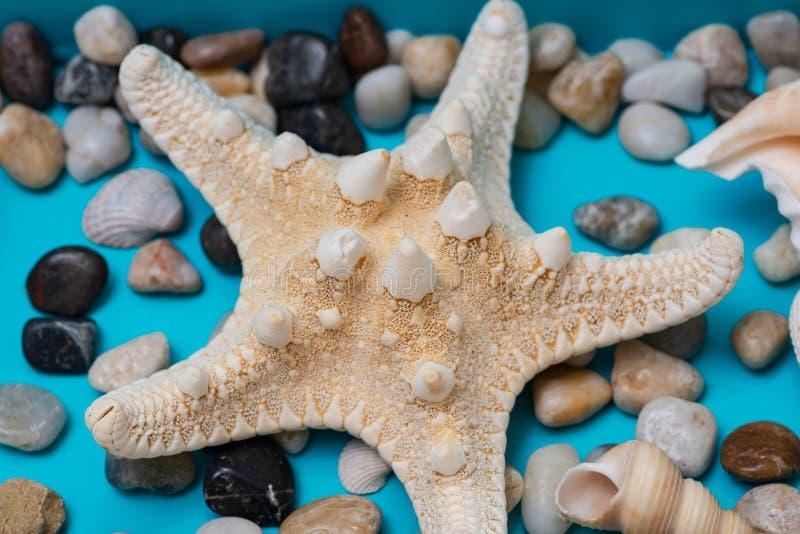 Espécime secado da estrela do mar nodoso e dos seixos no fundo azul Estrela de mar Horned Nodosus de Protoreaster, classe Asteroi imagem de stock royalty free