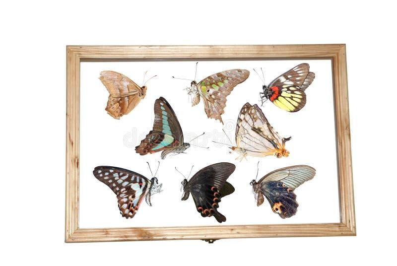 Espécimen de la mariposa fotografía de archivo libre de regalías