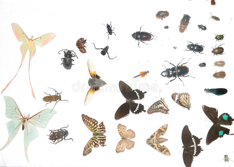 Espécimen del insecto libre illustration