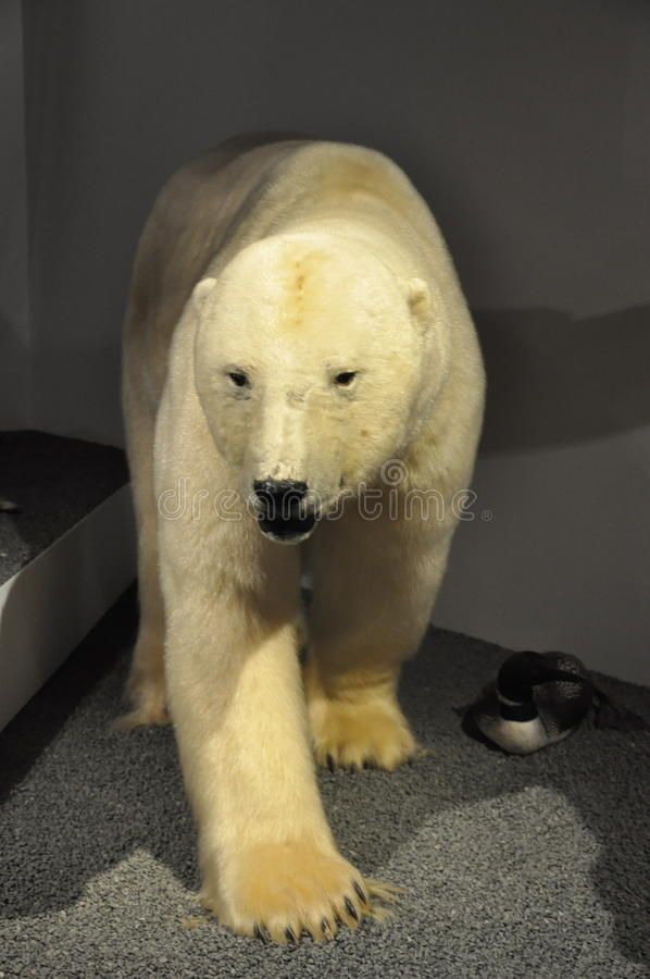 Espécimen del oso polar foto de archivo