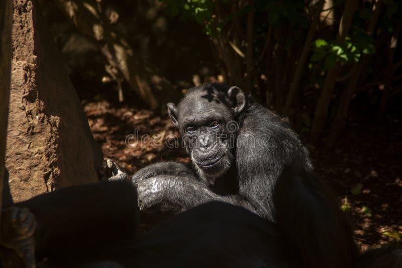 Esp?ces des animaux sauvages en captivit?, chimpanz?s photos libres de droits