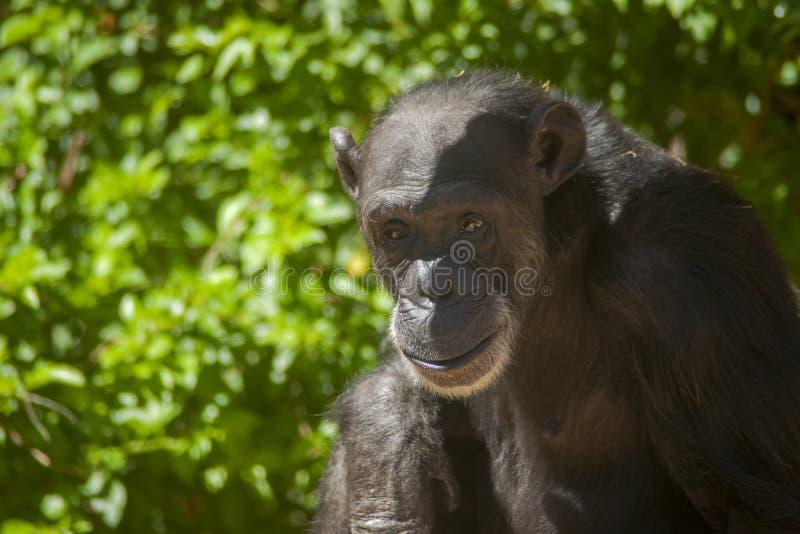 Esp?ces des animaux sauvages en captivit?, chimpanz?s photographie stock