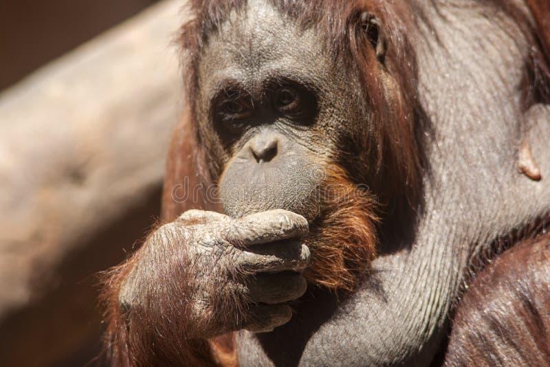 Esp?ces des singes, orang-outan photo libre de droits
