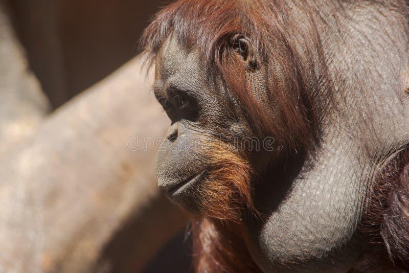 Esp?ces des singes, orang-outan images stock