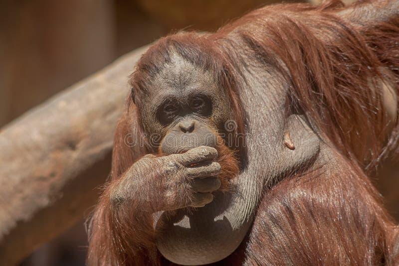 Esp?ces des singes, orang-outan photographie stock