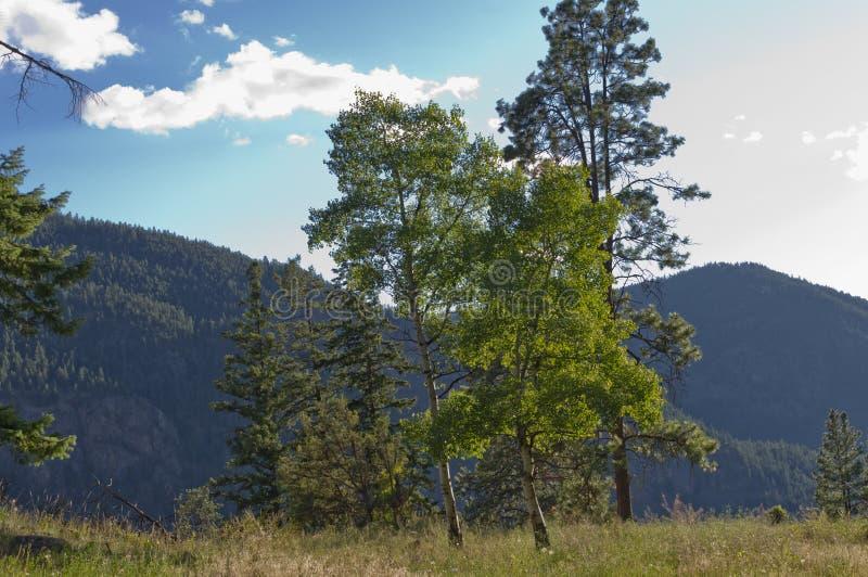 Esp en evergreens in een weide stock afbeelding