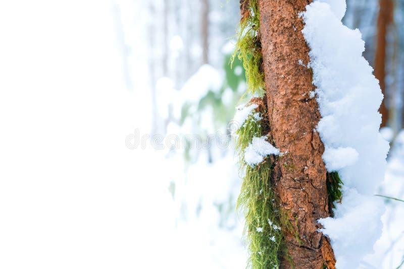 Espaço da cópia do espaço do anúncio no musgo verde que cresce no tronco de árvore marrom magro com a neve que cobre o lado direi foto de stock