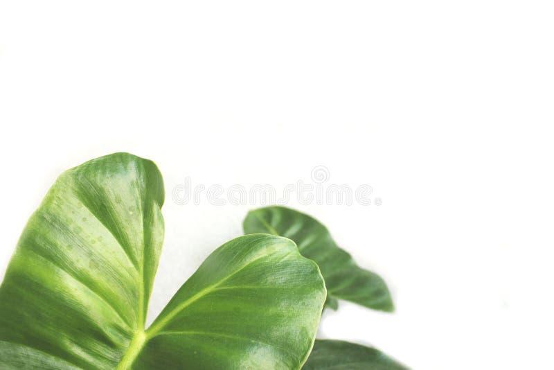 Espaço verde da folha e da cópia fotografia de stock royalty free