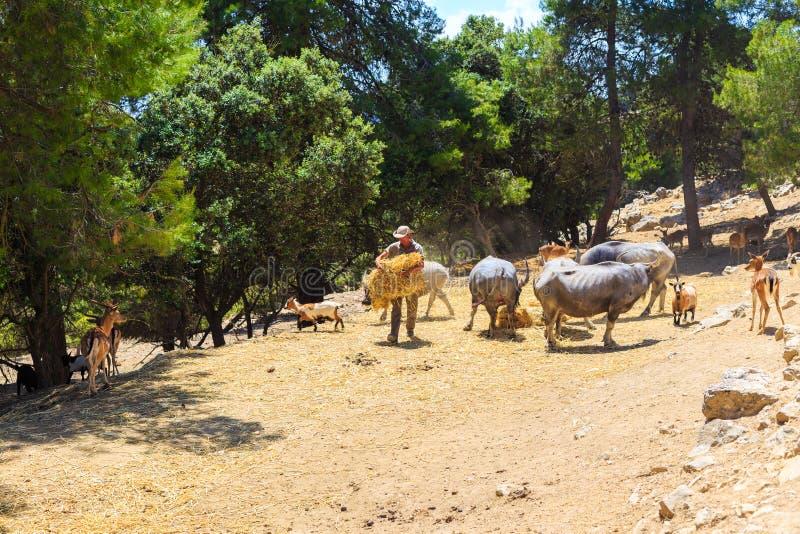 España, Penaguila, parque de Aitana Safari - 21 de junio de 2019: El empleado del safari del parque alimenta animales: búfalos, c fotos de archivo