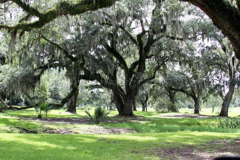 Español Moss Hanging de Live Oak Trees imagen de archivo