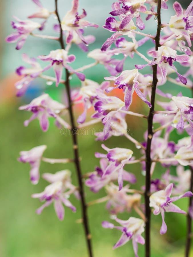 Español púrpura blanco Moss Flowers Hanging fotografía de archivo