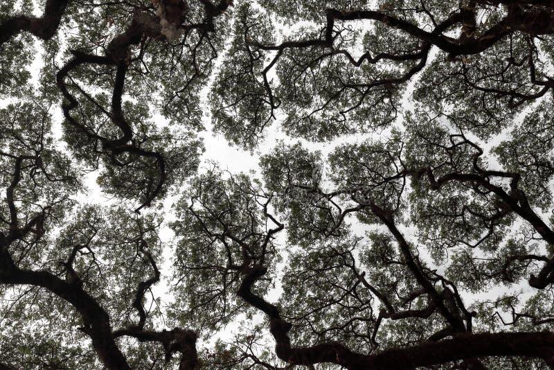 Espaciamiento del fenómeno o del toldo de la timidez de la corona y retirada de la corona del árbol que evita tocarse foto de archivo