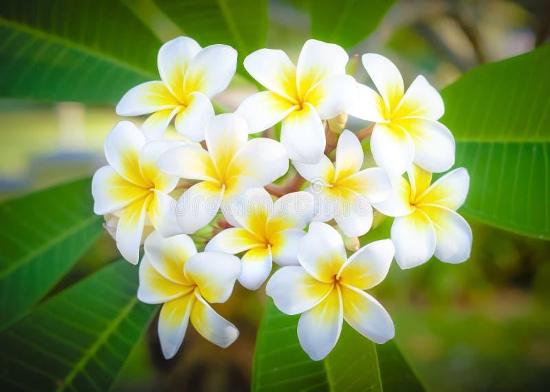 Espacio de Cory, floraciones perfumadas blancas puras fragantes fabulosas con los centros amarillos del plumeria tropical exótico imágenes de archivo libres de regalías
