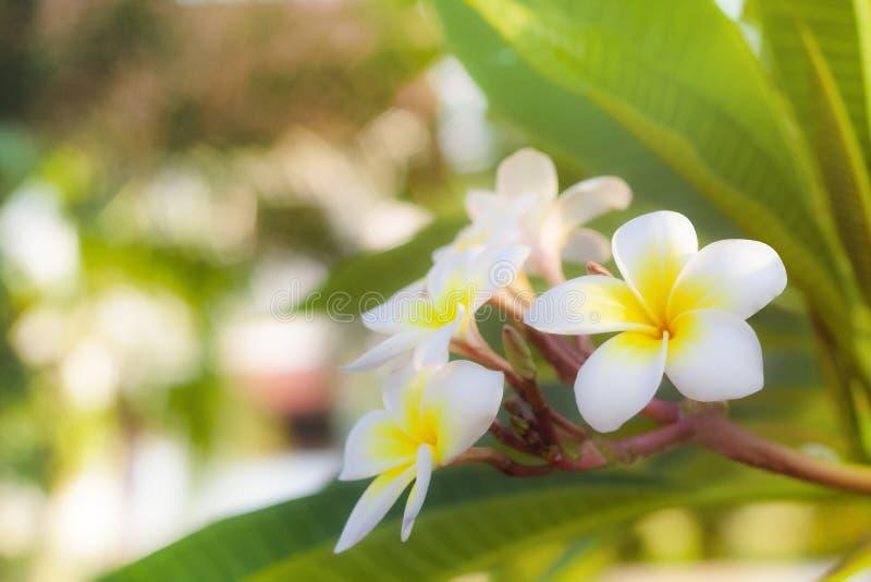 Espacio de Cory, floraciones perfumadas blancas puras fragantes fabulosas con los centros amarillos del plumeria tropical exótico fotos de archivo libres de regalías
