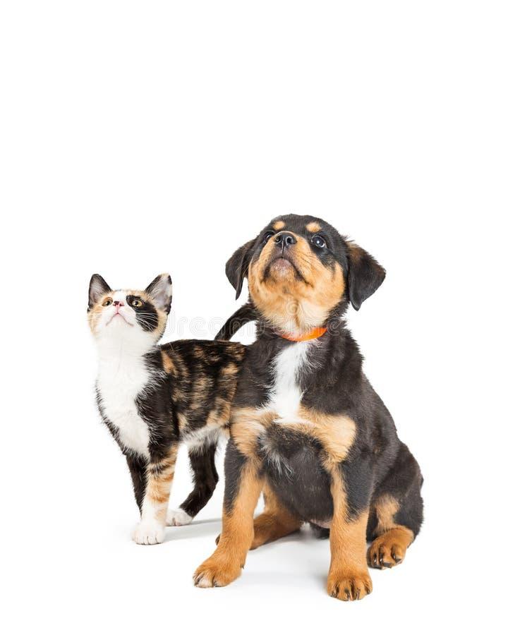Espacio lindo del perrito y de Kitten Looking Up Into Copy fotos de archivo libres de regalías