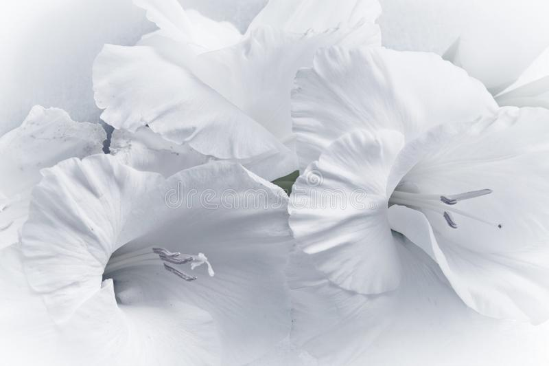 Espada-lírio romântico do tipo de flor do gladiola da flor branca no quadro completo fotos de stock royalty free