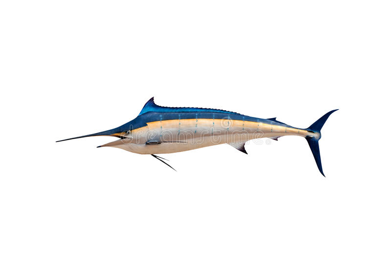 Espadim - peixe de água salgada do espadarte, do Sailfish & x28; Istiophorus& x29; isolado ilustração royalty free