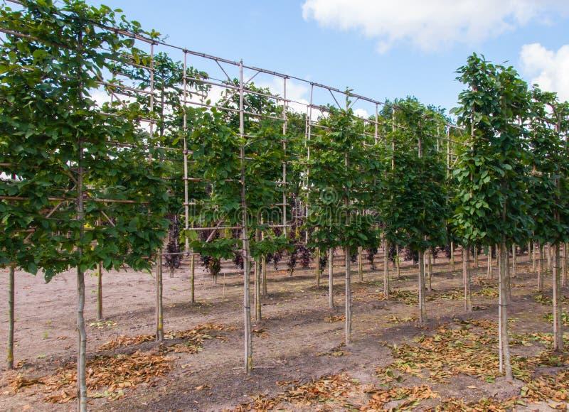 Espaliers em um berçário de árvore imagem de stock royalty free