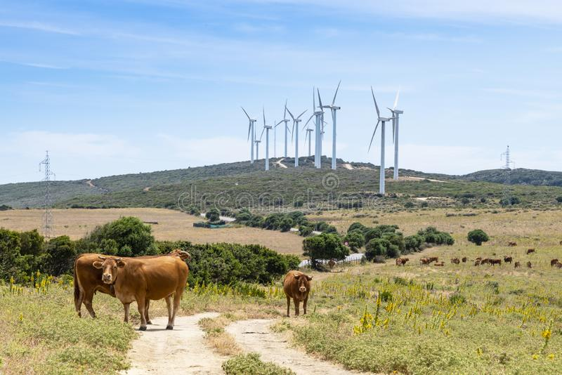 Espanha de Málaga do windfarm do Los Llanos das vacas e dos moinhos de vento fotografia de stock royalty free