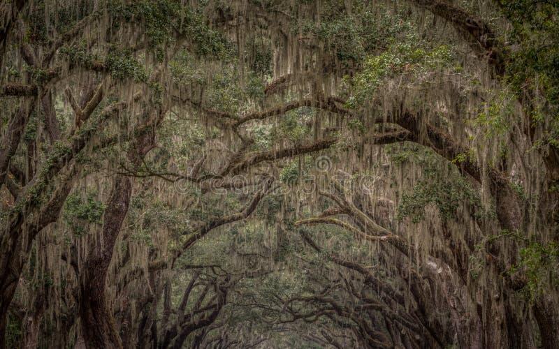 Espanhol Moss Growing em Live Oak fotografia de stock