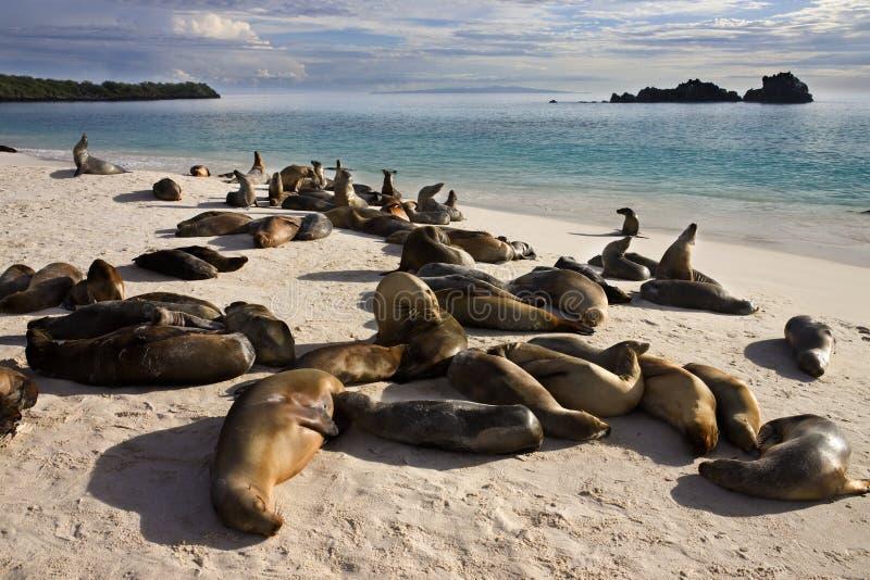 espanola加拉帕戈斯群岛狮子海运 免版税图库摄影