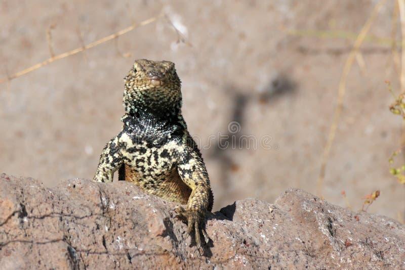 Espanola Lava Lizard Staring Over A Rock Stock Photos