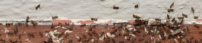 Espansione della colonia della formica fotografia stock