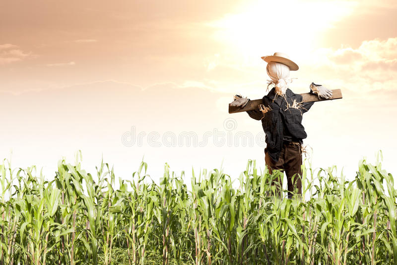 Espantalho no campo de milho no nascer do sol fotografia de stock